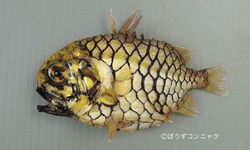 マツカサウオの生物写真