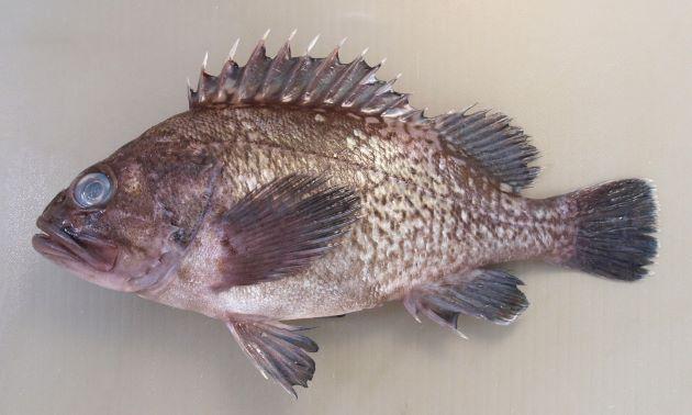 SL(体長)34cm前後になる。体高が高い。体側の模様はまだらで白い横帯ははっきりしない。尾鰭は丸く、後縁に白い縁取りがあるがはっきりしないか細い。類骨の下縁は棘状ではなく丸みを帯びている。