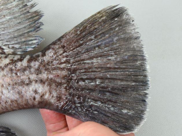 尾鰭は丸く、後縁に白い縁取りがあるがはっきりしないか細い。