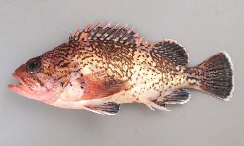 タヌキメバルの生物写真