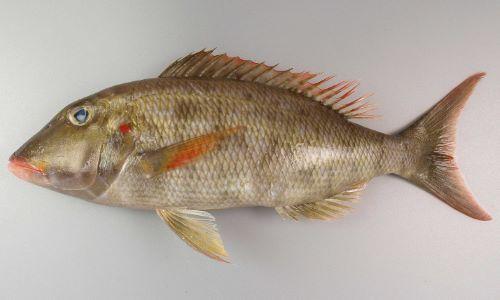 体長50cm前後になる。くすんだ褐色で側扁(左右に平たい)する。鰓蓋の後方に赤い斑文がある。