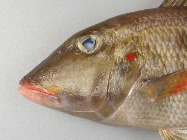 SL (体長)40cmを超える。細長い。前鰓蓋骨・頭部・胸鰭に赤い斑紋がない。鰓蓋骨に赤い斑紋がある。胸鰭裏側起部に鱗がない。