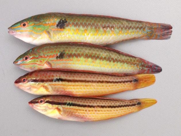キュウセンは小さい個体は雌(写真下2尾)、大きくなると雄(上2尾)に性転換する。