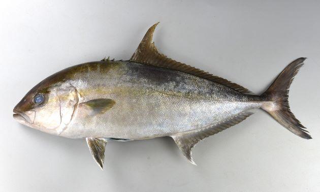 1m SL 前後になる。やや側へんし、体高がある。目は胸鰭よりも上。背から目・口に至る斜めの帯がある(成魚では不明瞭)。背鰭は長く、尾鰭下葉は白くない。[体長30cm]