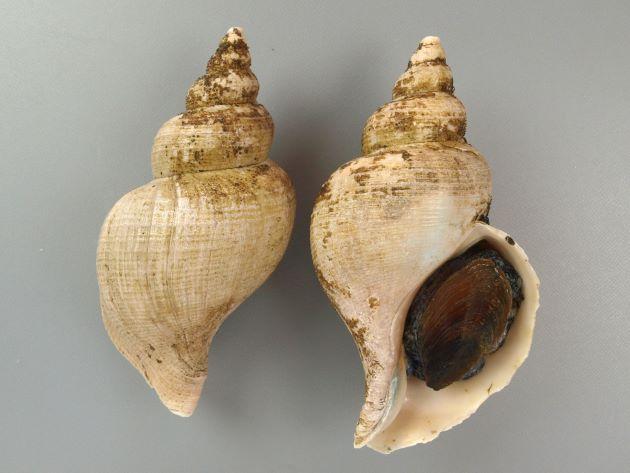 殻長15cm前後になる。大型のエゾバイ科の巻き貝。貝殻は薄いものも、やや薄いものもある。丸みを帯び、はっきりした肩の部分がない。螺肋(畝条に走る線)は非常に細く、ときにまったくないものもある。日本海のものは、北海道〜東北の太平洋側のものとは貝殻の感触などが違う。[北海道釧路産]