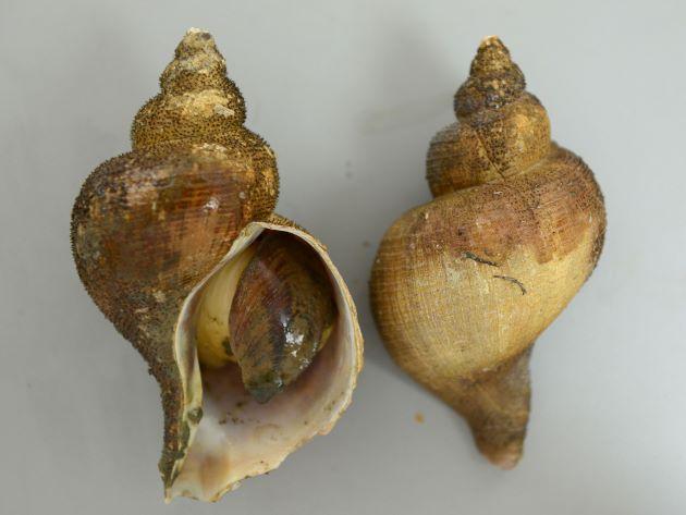 殻長15cm前後になる。大型のエゾバイ科の巻き貝。貝殻は薄いものも、やや薄いものもある。丸みを帯び、はっきりした肩の部分がない。螺肋(畝条に走る線)は非常に細く、ときにまったくないものもある。日本海のものは、北海道〜東北の太平洋側のものとは貝殻の感触などが違う。[新潟県村上市山北産]