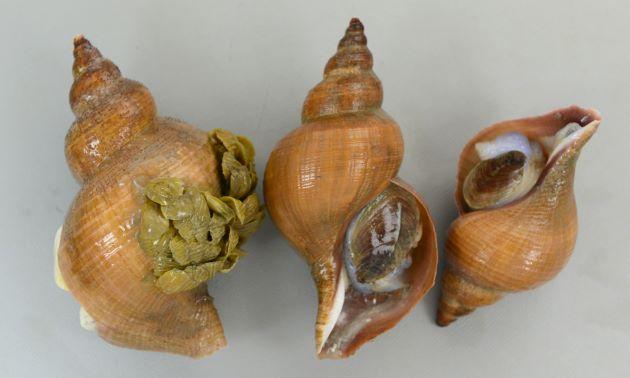 殻長15cm前後になる。大型のエゾバイ科の巻き貝。貝殻は薄いものも、やや薄いものもある。丸みを帯び、はっきりした肩の部分がない。螺肋(畝条に走る線)は非常に細く、ときにまったくないものもある。日本海のものは、北海道〜東北の太平洋側のものとは貝殻の感触などが違う。[富山県魚津市に水揚げされたもので比較的浅場でとれたものだと思われるもの]