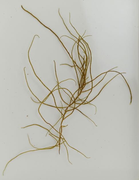 クサモズクの形態写真