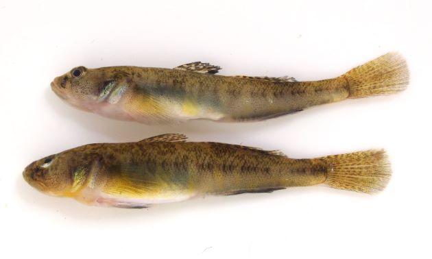体長7cm前後になる。口は小さく後端は目の中央部直下よりも前にある。下顎の方が前に出て、受け口である。頭部に眼上に感覚器の開孔部分がある。産卵期には黄色い横縞が出る。雌は通常第1背鰭後半に黒色斑がある。