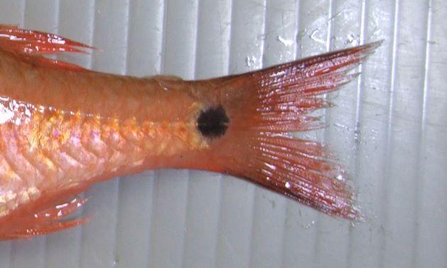 尾柄部(尾鰭のつけ根)に黒い斑紋がある。