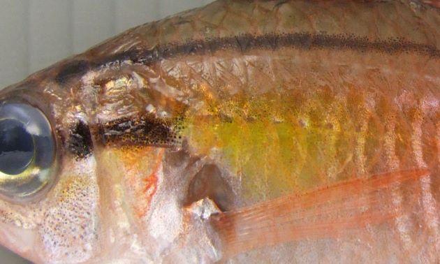 鰓蓋骨の後方は黄金色を帯びている。目から後方にかけて2本の筋が走る。