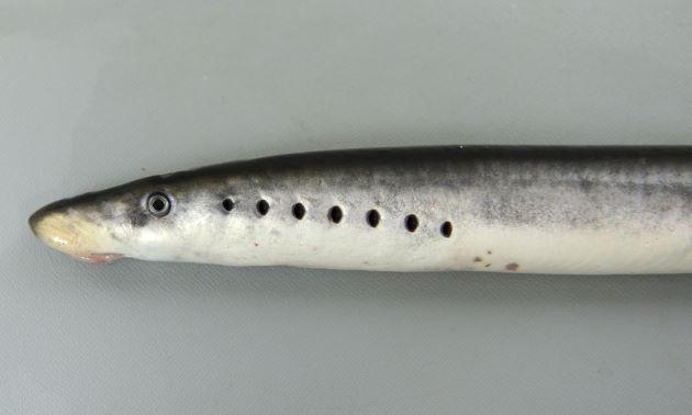側面から見ると本当の目が1つ、鰓孔が7つで「八目」となる。