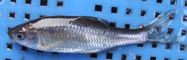 タナゴの形態写真