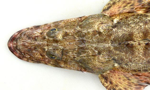 50cm SL 前後になる。体色は黒褐色で体に太く濃い帯がある。体に小さく黒い斑点がやや密に散らばる。細長いがコチ科ではやや体高がある。吻は長い。間鰓蓋部の皮弁は単一形。