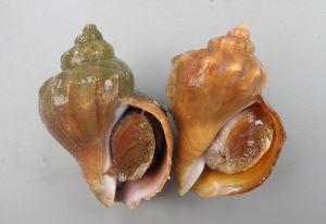 ヒメエゾボラのサムネイル写真