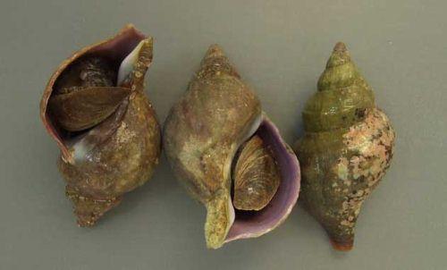 ヒメエゾボラの生物写真
