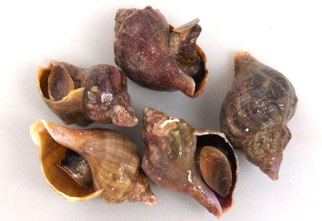 8cm SL前後になる。食用エゾボラ類ではもっとも小さいもののひとつ。色合いは多彩。真っ黒なものから白いもの、また焦げ茶、黒緑など。貝殻は厚い。螺肋(貝殻にある筋)は目立たない。螺肋と成長脈(縦に走る筋)の交わる部分がコブ状になるものがある。