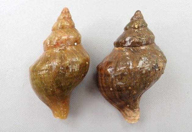 8cm SL前後になる。食用エゾボラ類ではもっとも小さいもののひとつ。色合いは多彩。真っ黒なものから白いもの、また焦げ茶、黒緑など。貝殻は厚い。螺肋(貝殻にある筋)は目立たない。螺肋と成長脈(縦に走る筋)の交わる部分がコブ状になるものがある。[宮城県石巻産]