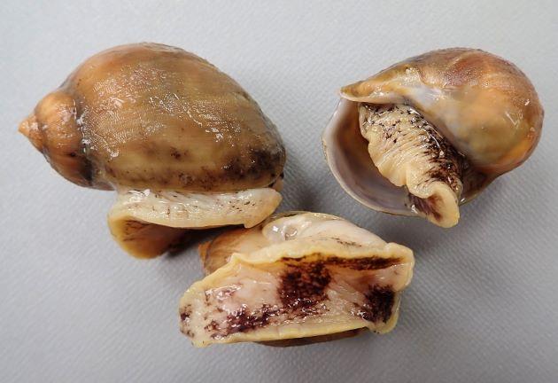 SL5cm前後になる。貝殻は非常に薄く、ビロード上の殻皮をかぶっている。軟体の足は非常に大きく、貝殻に収まらない。