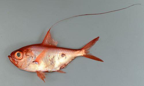 体長17.2cm、重さ117gの背鰭第5条は長く、18cm以上あった。