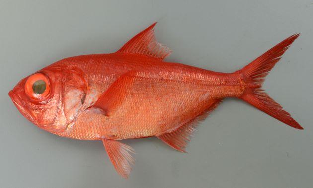 体調50cmを超える。前半身で体高が高く、後半が細い。全体に赤く、目が金色。この金色は瞳の奥のタペータム(タペタム)という反射層があり、光を集めているため。背鰭軟条は通常14(13-15)、鼻孔は2つ。前鼻孔は小さく、後鼻孔はスリット状で縦に細長い。市場では大型ほど赤く、小型は赤が弱い。