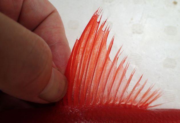 背鰭軟条は通常14(13-15)。