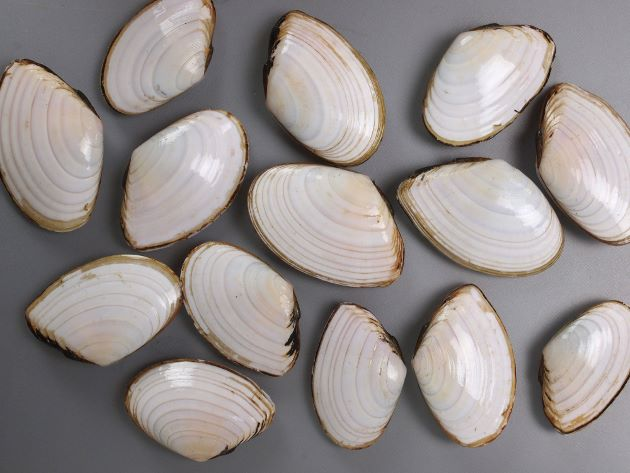 殻長9cmほどになる。漆喰のように滑らかな手触りで貝殻全体が白く、成長脈(成長にともない出来る筋)が弱い。ときどき黒い筋状の線が走っていることがある。三角に近い扇状で平たい。