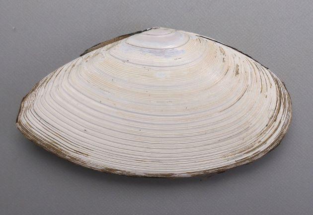 貝殻はあまりふくらまない。