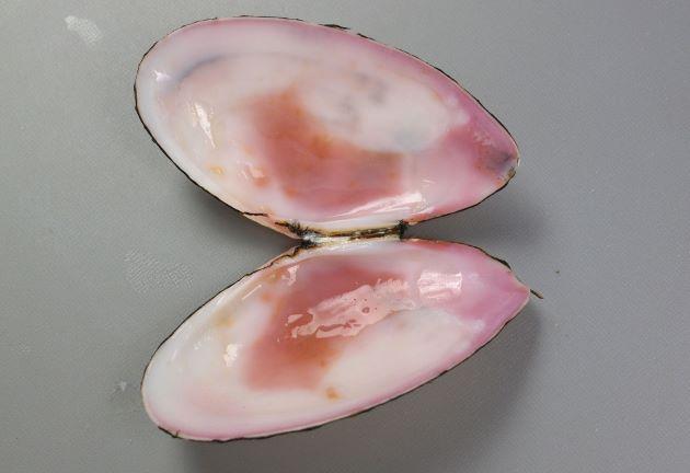 貝殻の内側は赤紫色をしている。