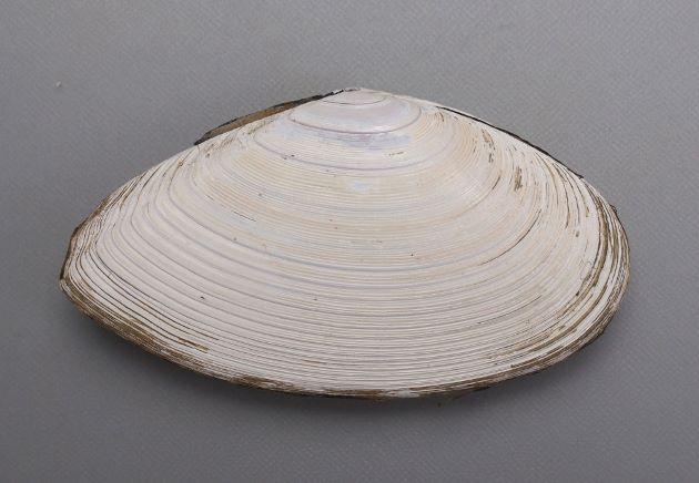 殻長11cm前後になる。殻が厚く持ち重りする。貝殻表面の白い皮はややとれやすく貝殻のいちばん上部(貝頂)から同心円上にある筋(成長肋)がはっきりしている
