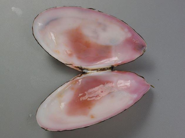 貝殻の内側は赤紫色をしているものと白いものがある。
