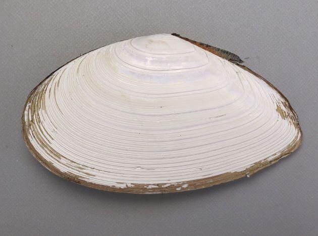 アラスジサラガイの形態写真