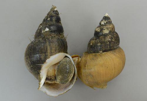 殻長20cm以上になる。貝殻は非常に薄くもろい。よくふくらみ。縫合はくびれる。全体に黒いものが多い。