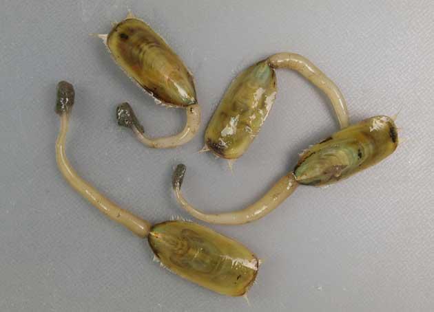 ミドリシャミセンガイの形態写真