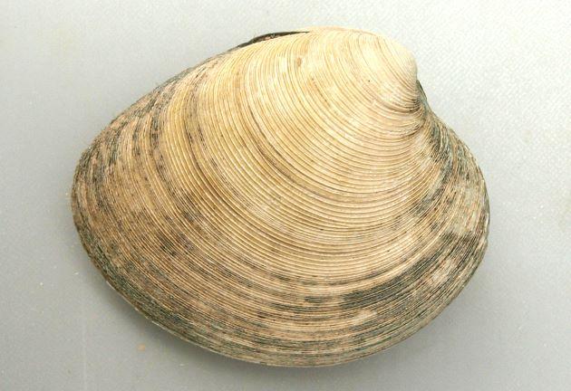 殻長10センチ前後になる。貝殻は厚く、貝殻はほんの少し赤味を帯びた灰色。貝殻の表面にざらざらした輪肋がある。