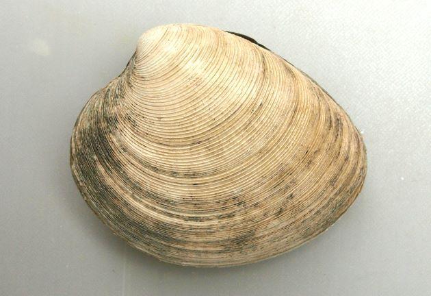 ビノスガイの形態写真
