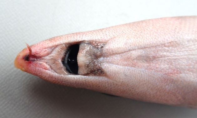 31cm SL 前後になる。吻は尖る。吻の下に1本のヒゲがある。口は下につく。背鰭は1つ。胸鰭、腹鰭は離れている。
