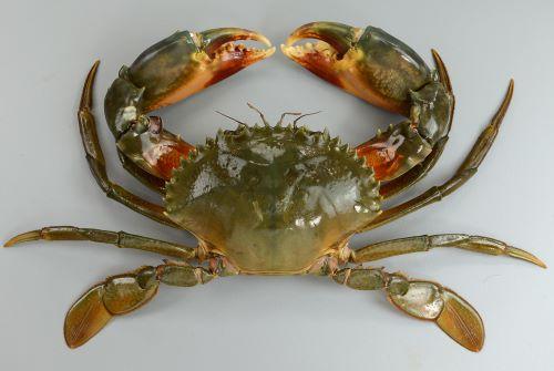 甲幅20cm、重さ1kgを超える。目と目の間・額中央の4歯は正三角形に近い。網目模様は主に第4、第5歩脚に出るが薄い。裏側は赤褐色を帯びる。[雄]
