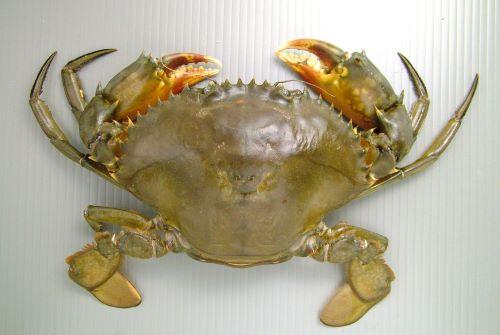 甲幅20cm、重さ1kgを超える。目と目の間・額中央の4歯は正三角形に近い。網目模様は主に第4、第5歩脚に出るが薄い。裏側は赤褐色を帯びる。[雌]