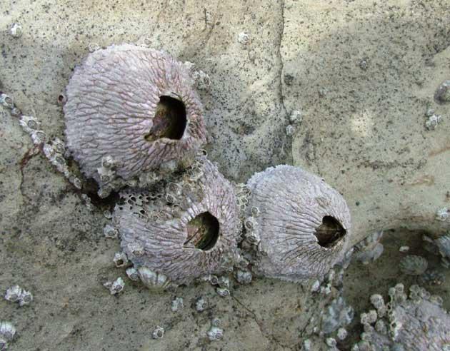 クロフジツボの形態写真