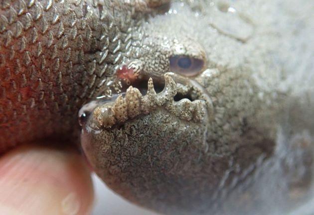 35cm SL 前後になる。目は左にある。青灰色で無眼側の背鰭・腹鰭は黒い。側線は3本。唇にヒゲがある。