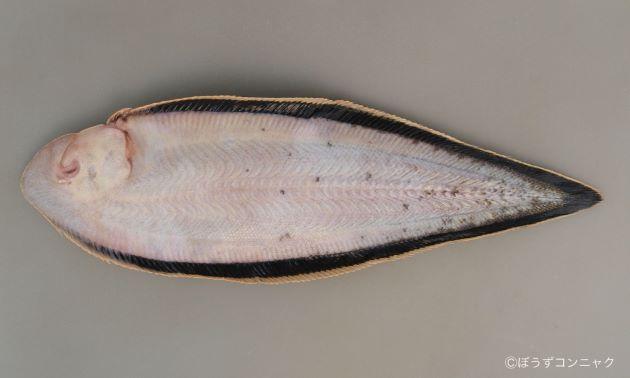体長40センチ前後になる。縦偏形(平べったい)。上から見ると細長い楕円形。目は左にある。裏返すと鰭が黒い。口の回りにひげのようなものがある。