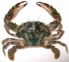 イシガニの未成熟の個体