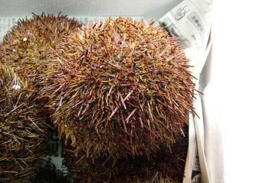 チリウニの生物写真