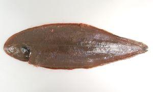 オオシタビラメ