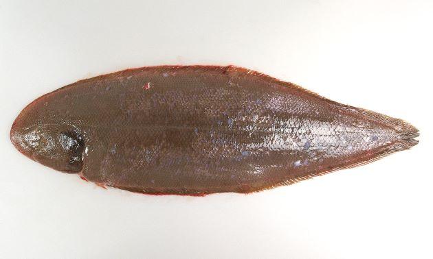 体長70センチ前後になる。裏側にも有孔側線がある。鱗がはがれやすい。鰓蓋が黒い。