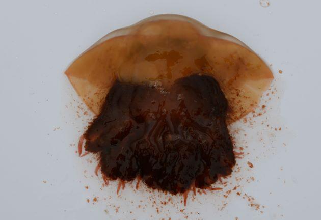 ビゼンクラゲの形態写真