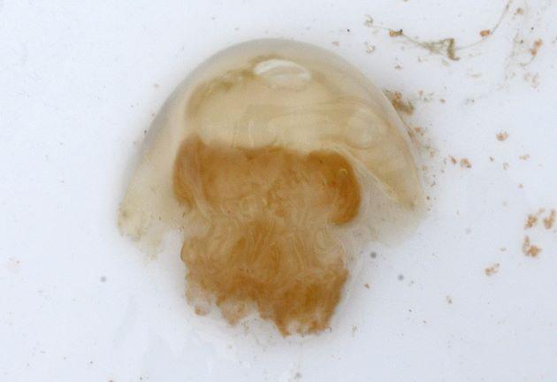ヒゼンクラゲの形態写真