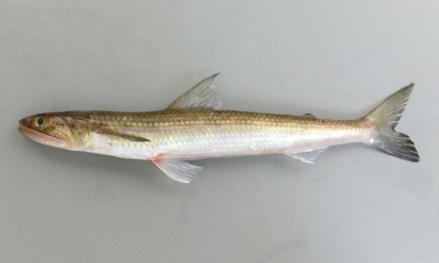 体長60cmを超える。細長く断面が楕円形。背中が褐色で腹側が金白色。歯が非常に鋭い。尾鰭下葉(下)縁が黒い。胸鰭は腹鰭先端に届く。背鰭と尾鰭の間に脂鰭がある。画像は若狭湾。
