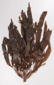 アラメのサムネイル写真